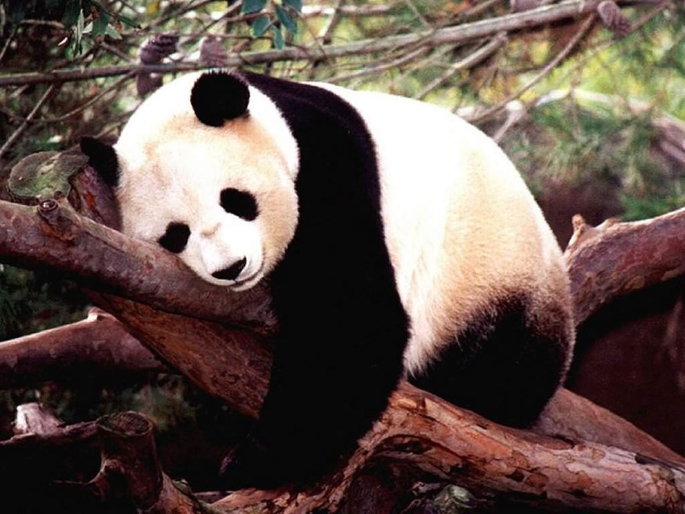 Rough life for napping giant panda in Sichuan Province, China