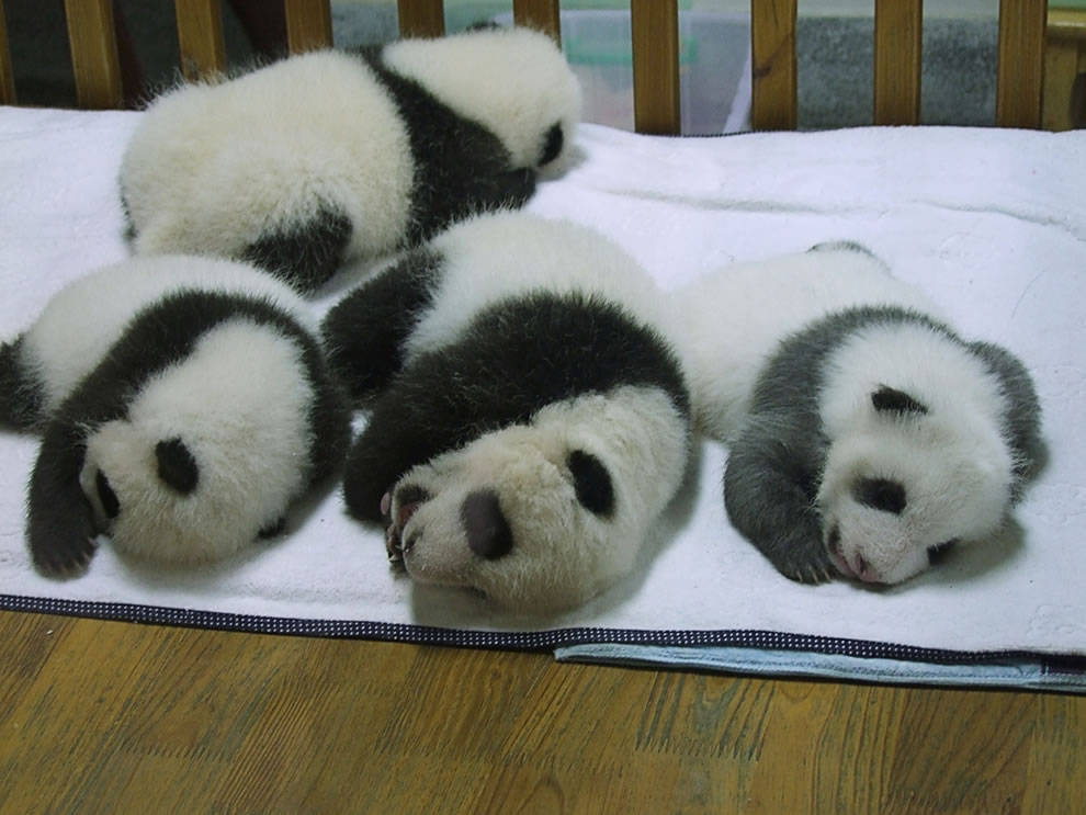 Taken at Sichuan Giant Panda Sanctuary, China