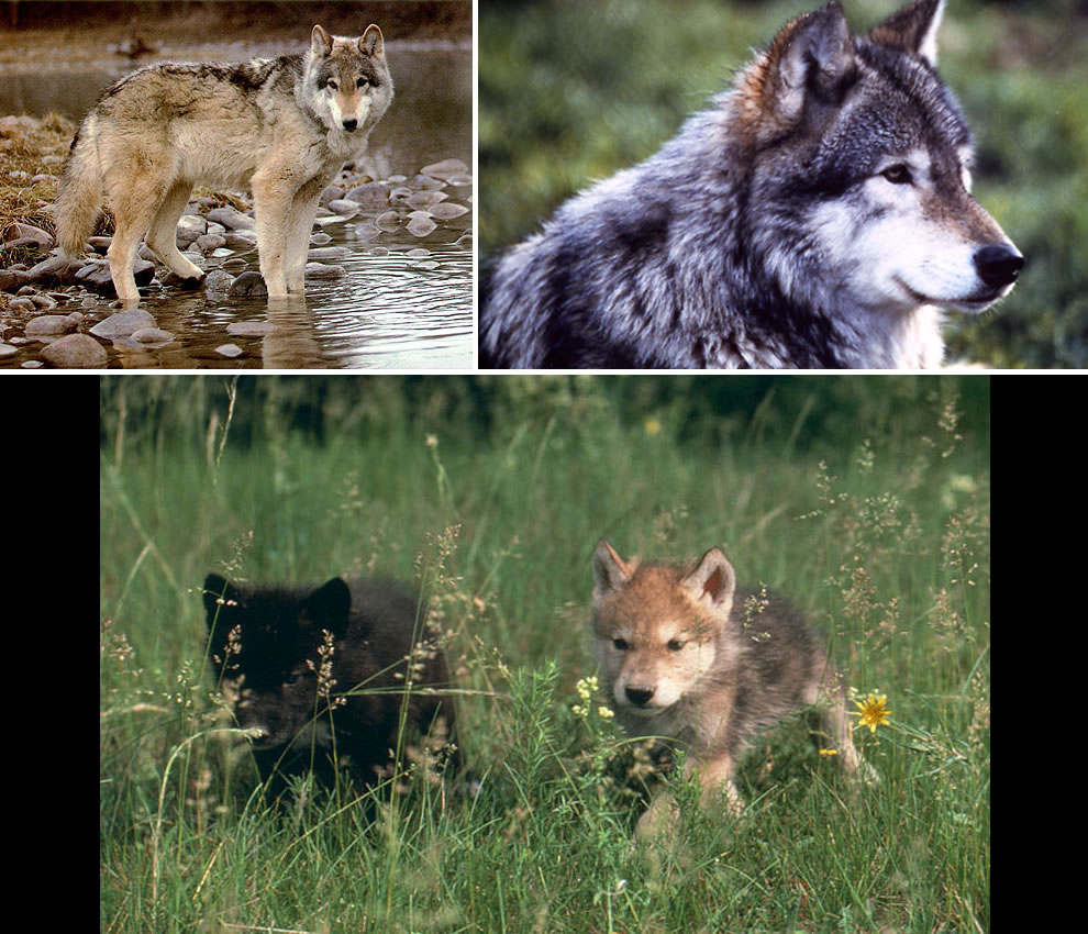 Wolves and wolf pups in Grand Teton National Park