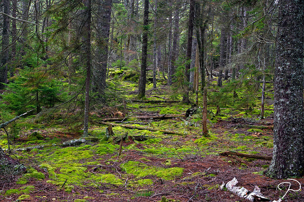 Woods of Isle au Haut, Acadia National Park