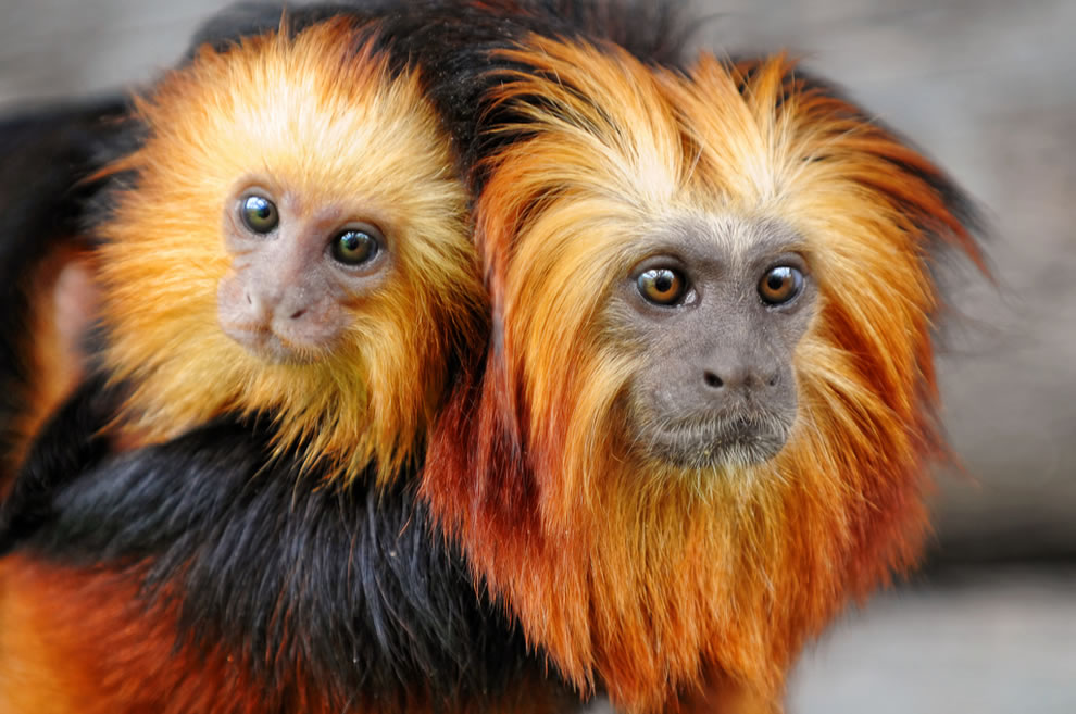 Always with mom -- A golden-headed lion tamarin mother with her baby on her back