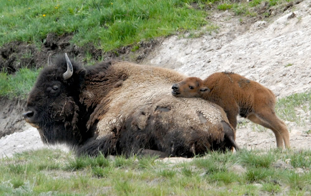 American Bison calf was using its mother as a scratching post in Hayden Valley, Yellowstone National Park