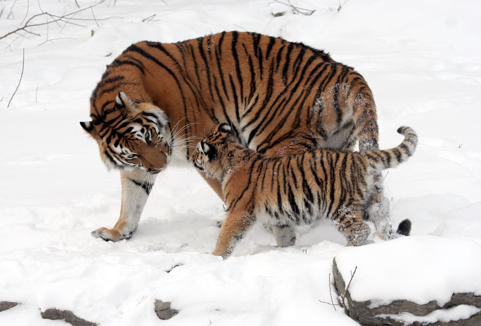 Amur tiger cub with its mother