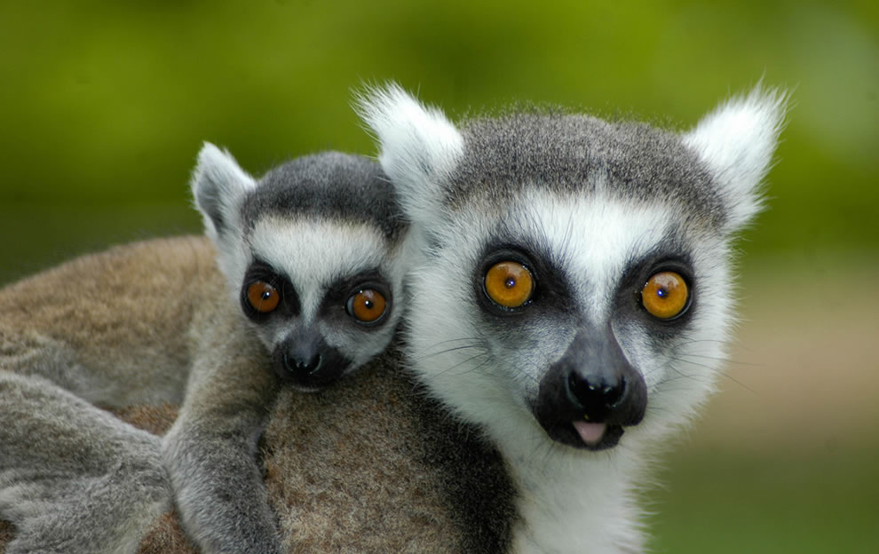 Baby lemur hitching a ride with mom