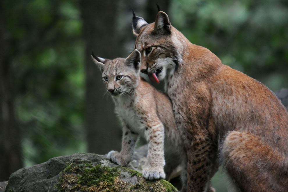 Eurasian lynx mother cleaning her kitten