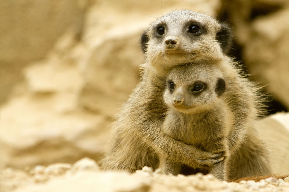 Meerkat momma snuggles her baby - Mother's Love in animals (Dabbang Muqaabla 3)