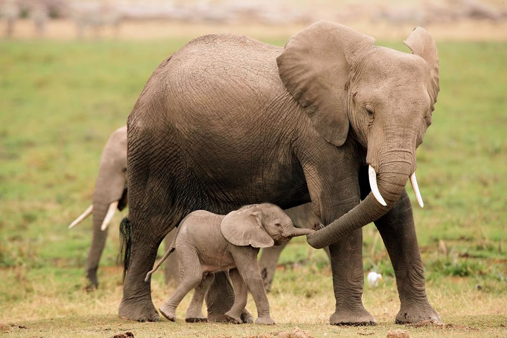 Mom and baby elephants holding 'hands' or trunks