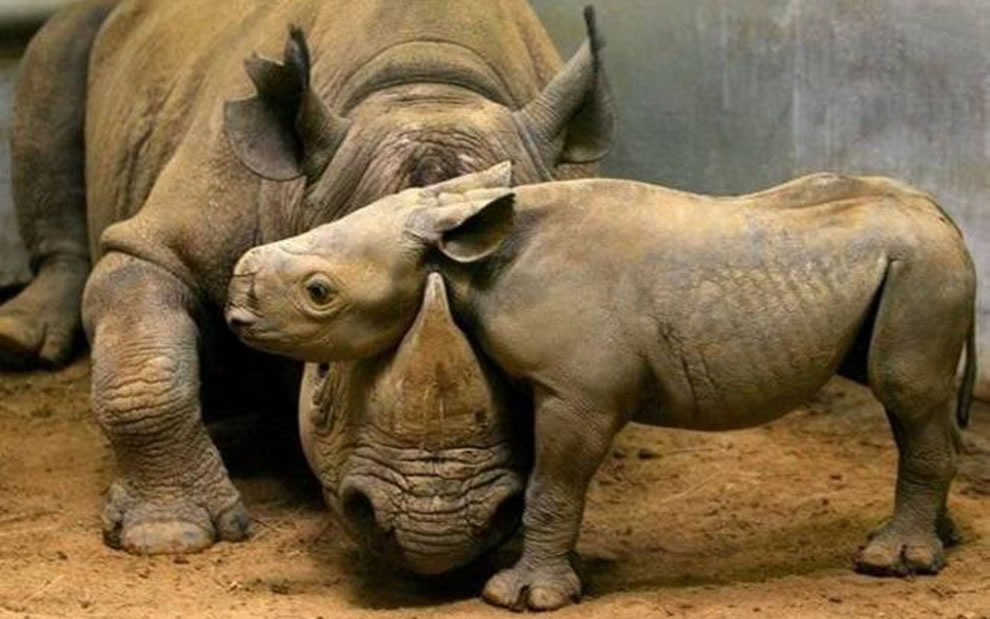 Rhino moma and baby snuggling