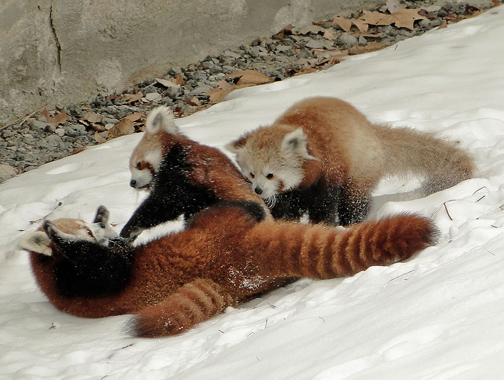 Three-Way Tussle, red panda boy cubs playing and pouncing on mom