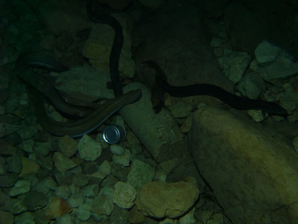 Freshwater eels eating sausages at Vortex Spring, Florida