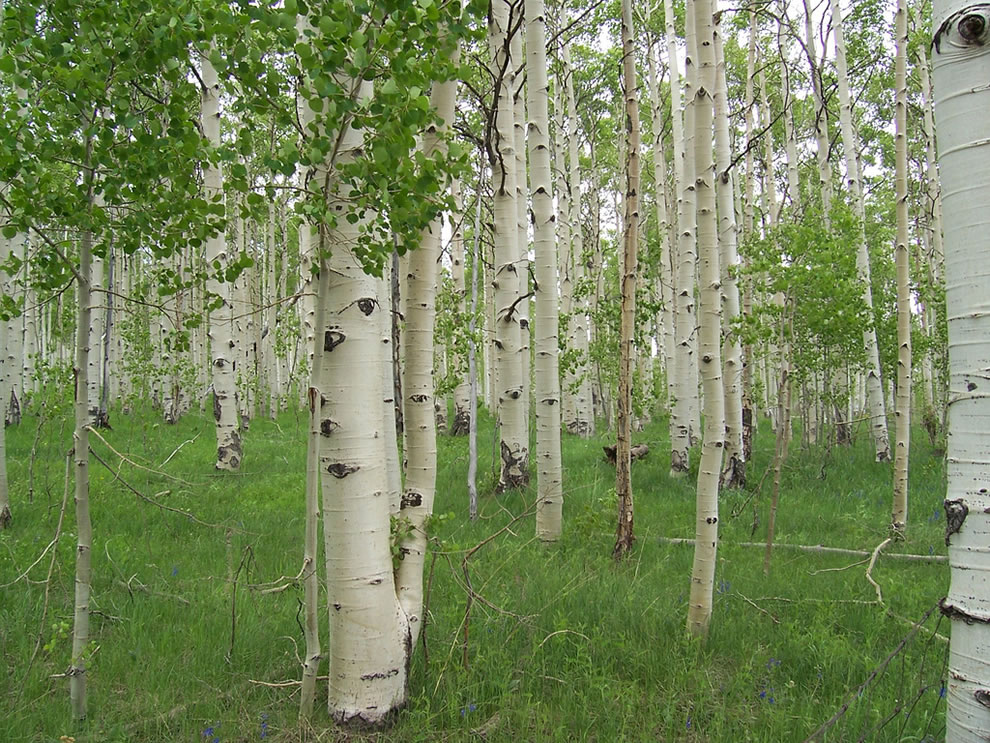 Quaking aspens grow in Zion&#039;s higher elevations