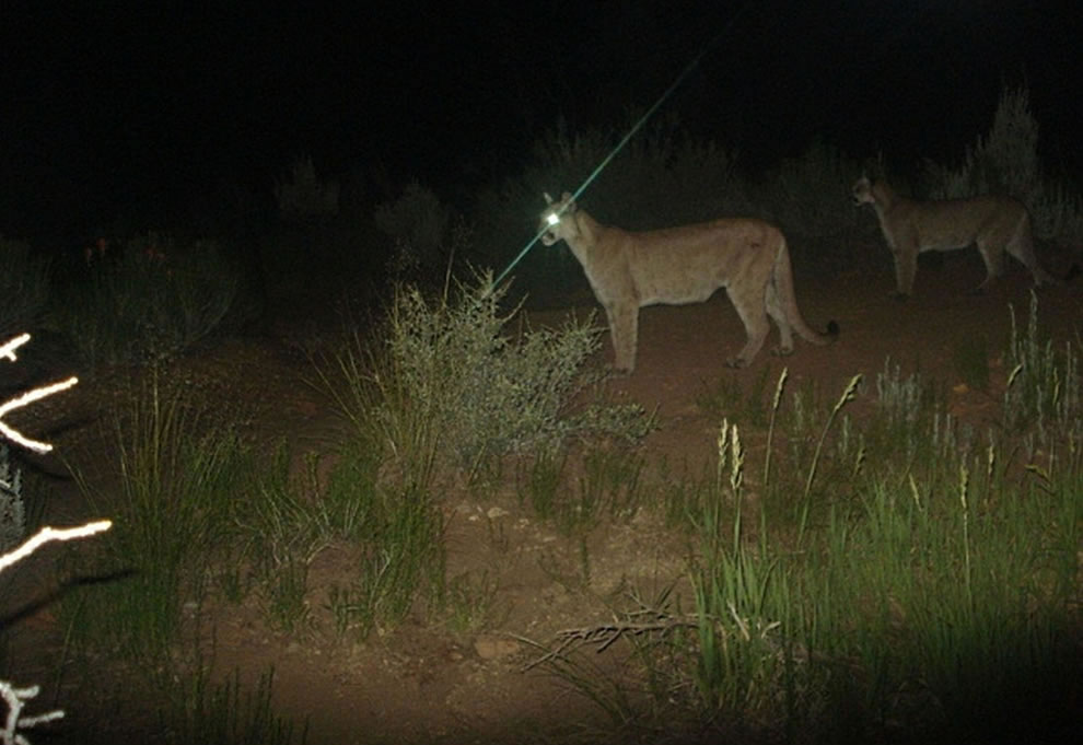 Zion National Park Two mountain lions hunt prey while we sleep