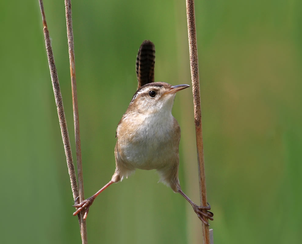 #4 -- 54 votes in Final; Marsh Wren (Cistothorus palustris), Cap Tourmente National Wildlife Area, Quebec, Canada -- World Photography Day