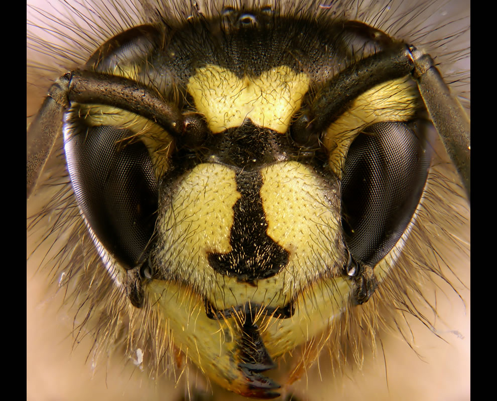 4 tie, with 54 votes, 54 votes in Final; Portrait of the common wasp Vespula vulgaris depicting the characteristic head markings