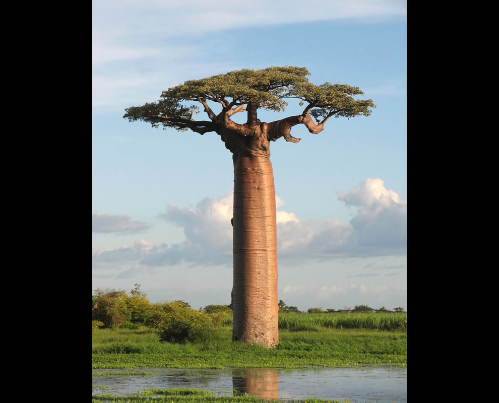 Wikimedia Commons Picture of the Year Final Grandidier's Baobab, picture taken near Morondava, Madagascar