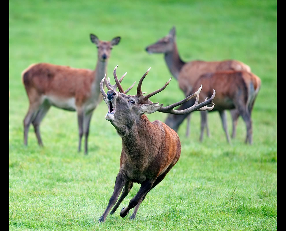 Wikimedia Commons Picture of the Year winners for 2011: #7 with 37 votes in Final; Red deer (Cervus elaphus), in Freyr forest, near Han-sur-Lesse, Belgium, World Photography Day