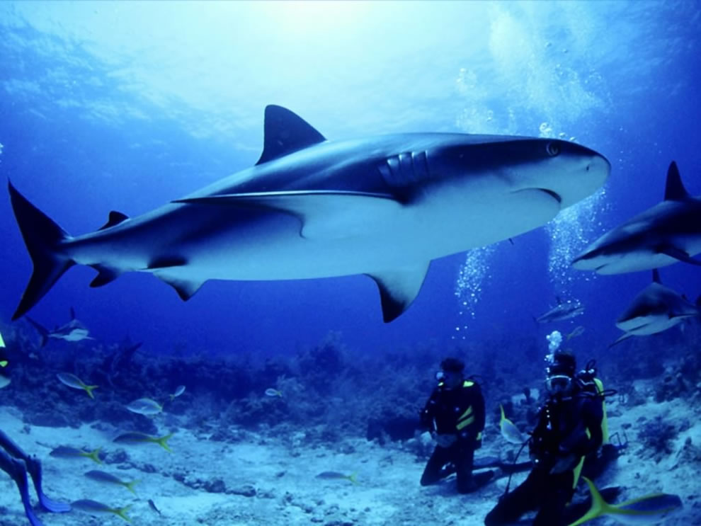 Bull sharks with scuba divers