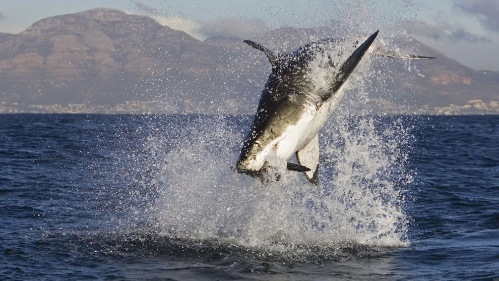 Great white shark attacks