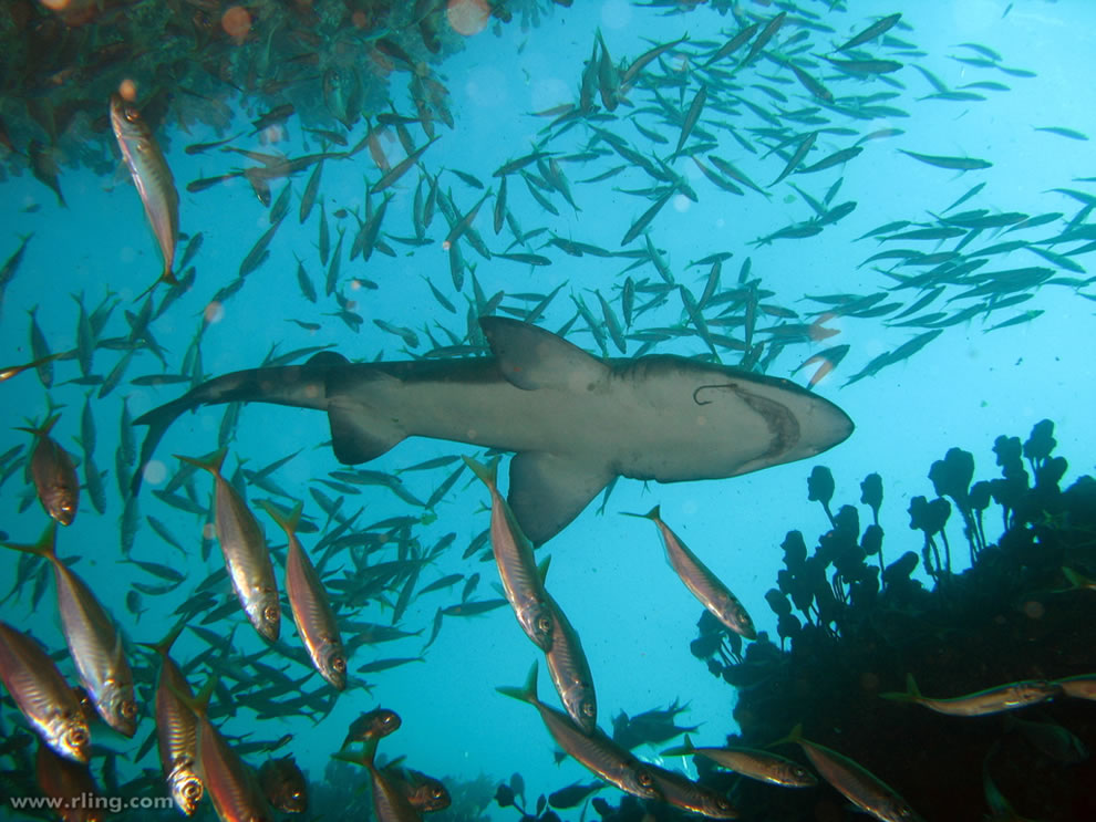 Grey Nurse Shark with fishhook swims above a shoal of Jack Mackerel