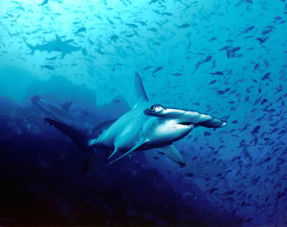 Hammerhead shark, Cocos Island, Costa Rica