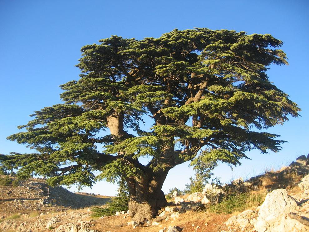 Lebanon Cedar in Barouk, Lebanon
