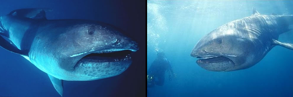 Megamouth sharks