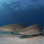 Sharks in shallow water