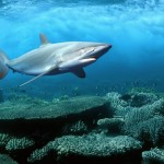 Silky shark underwater life