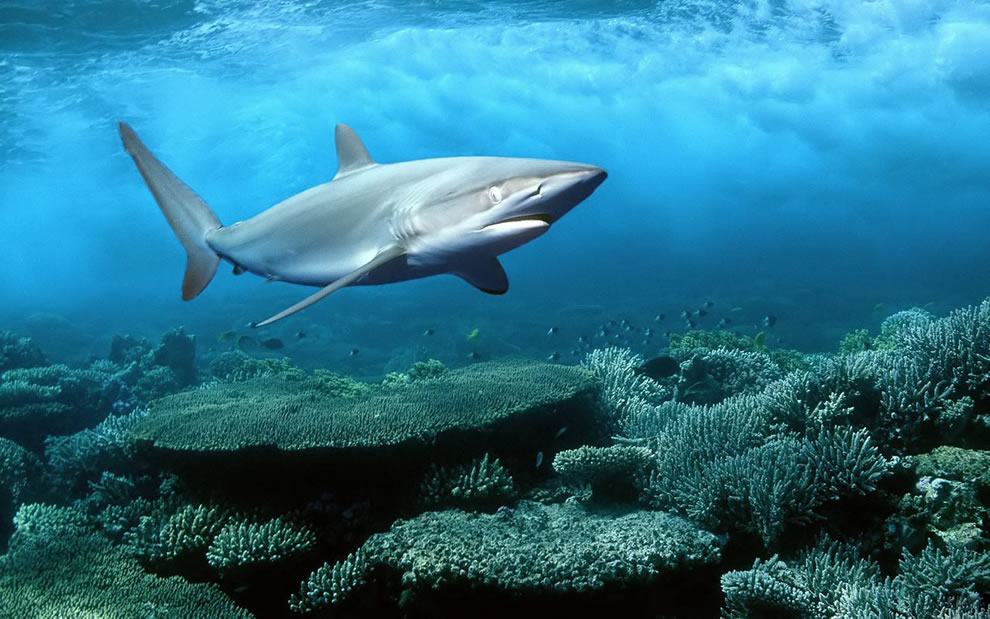 Silky shark underwater life