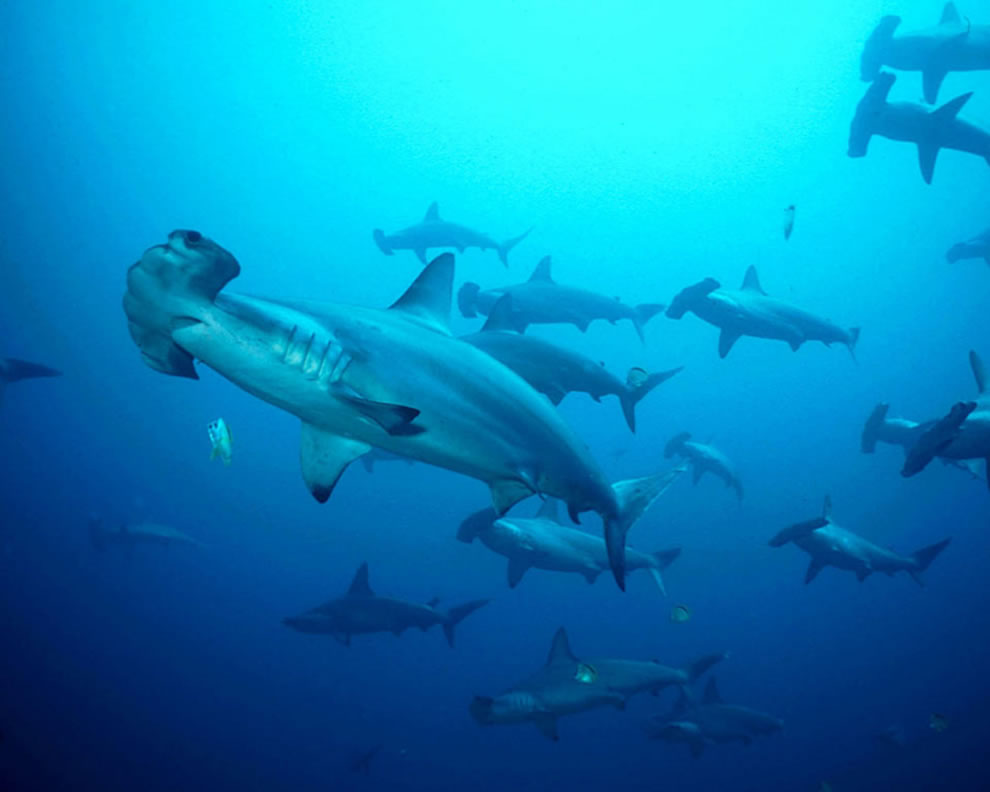 Swarm of Hammerhead Sharks