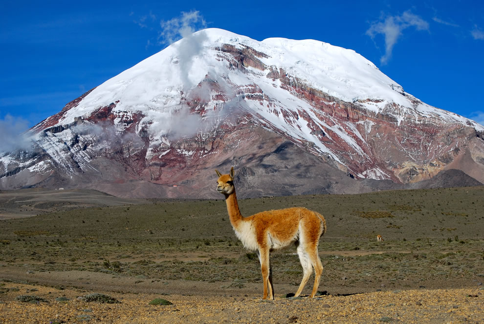 Wikimedia Commons Picture of the Year winners  #8 – 35 votes in Final; Vicuña, one of two wild South American camelids. In the background the point on the Earth's surface that is farthest from the Earth's center, Chimborazo volcano - Ecuador.