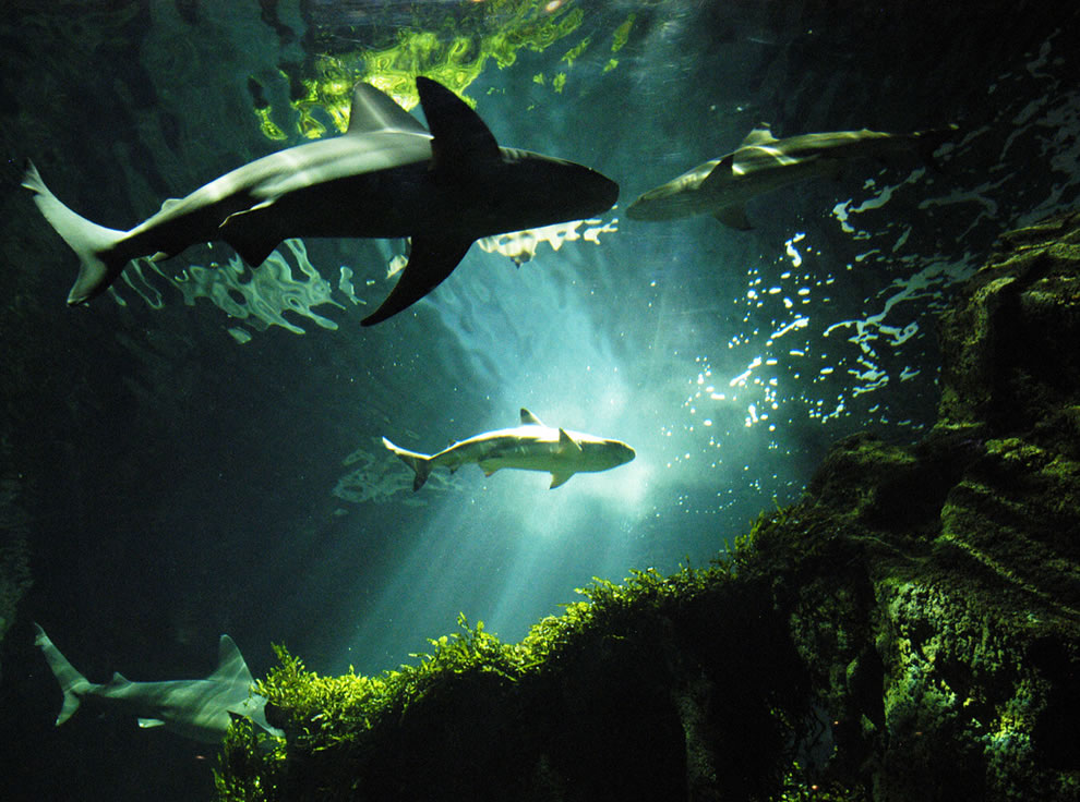 Underwater world of shark predators