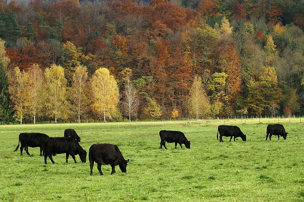 Aberdeen Angus cattle in Götzis, Vorarlberg during autumn