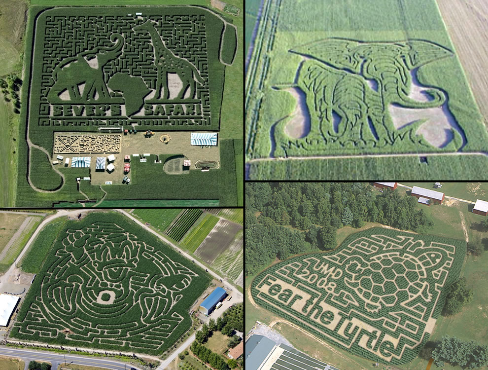 Animal corn mazes, aerial views of elephants, giraffes, Donald Duck, turtle corn mazes
