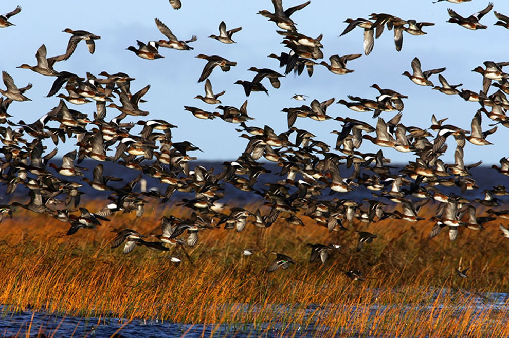 Autumn Bird Migration on Coasts of Prnu, Estonia. Waterfowl flock in Luitemaa coastal wetland