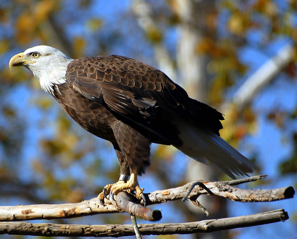 Autumn bald eagle