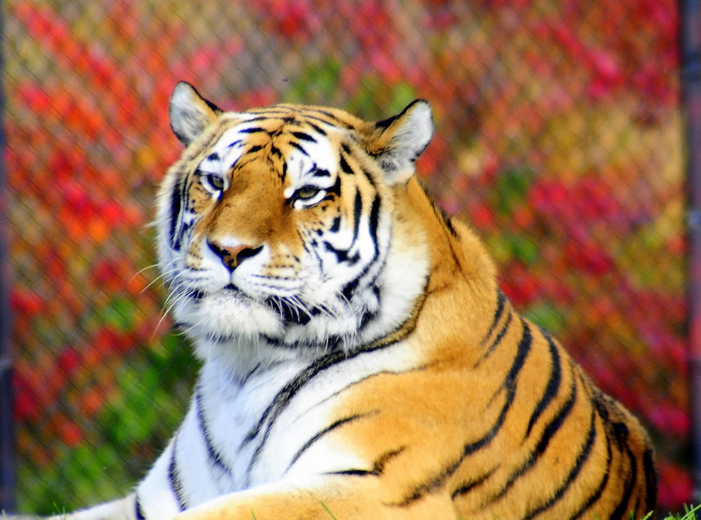 Autumn in Canada, tiger at the Toronto Zoo