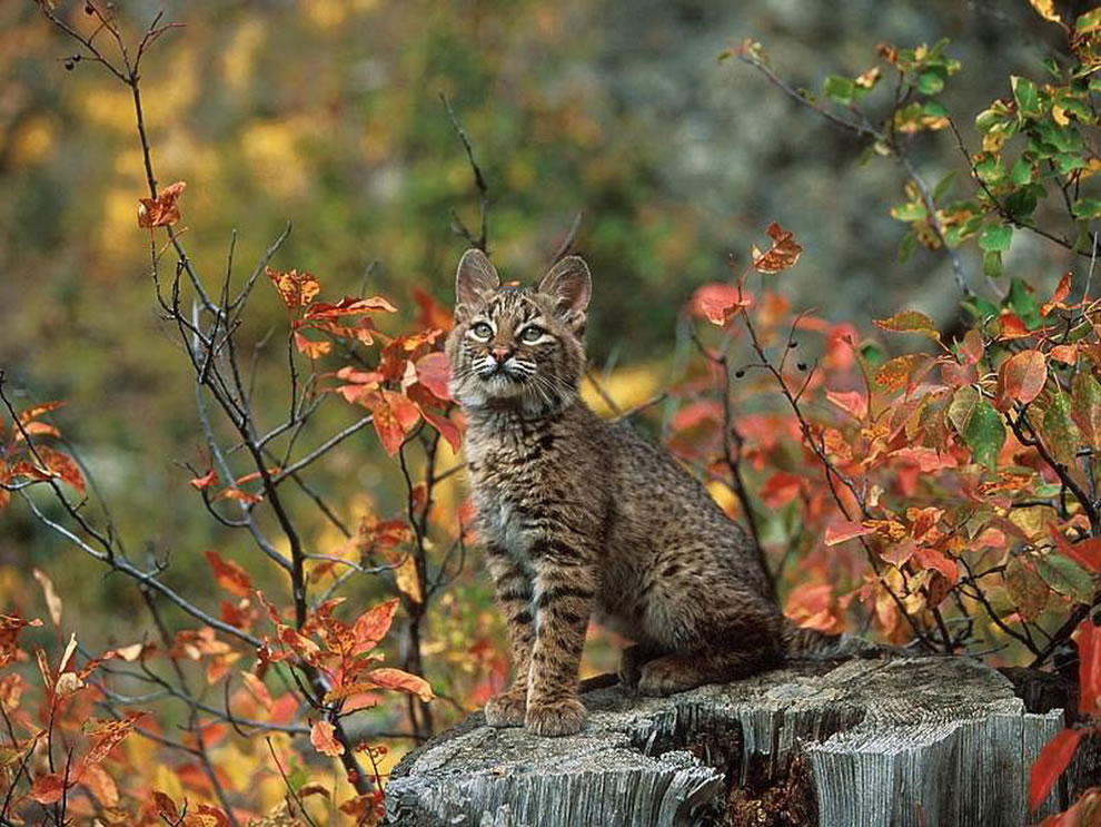 Beautiful Bobcat In Autumn