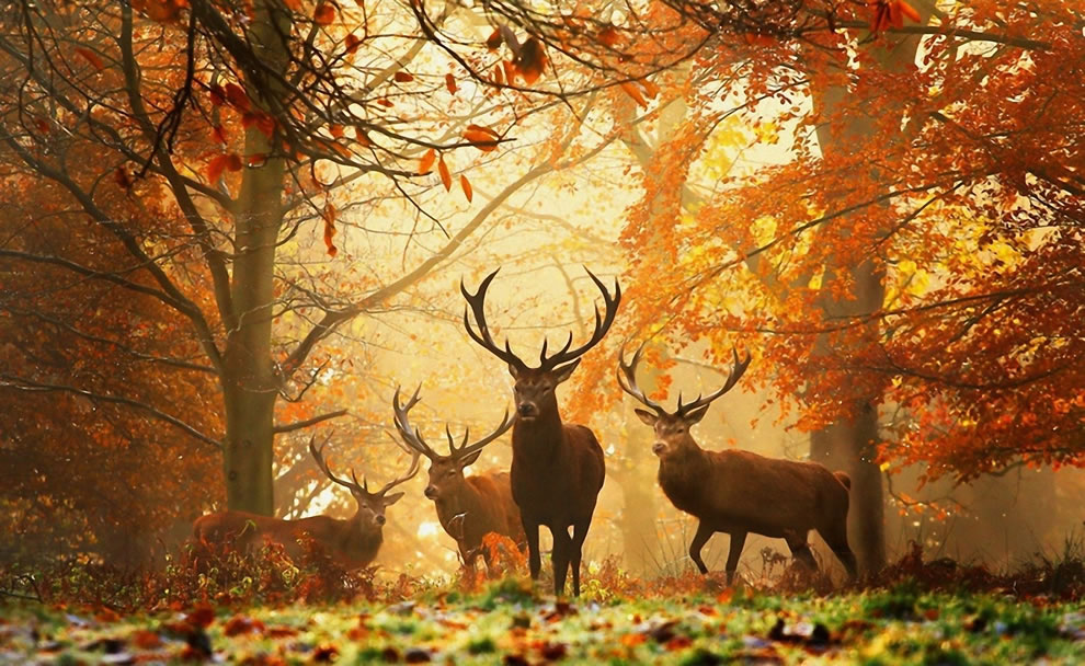Deers with antlers in forest with autumn foliage