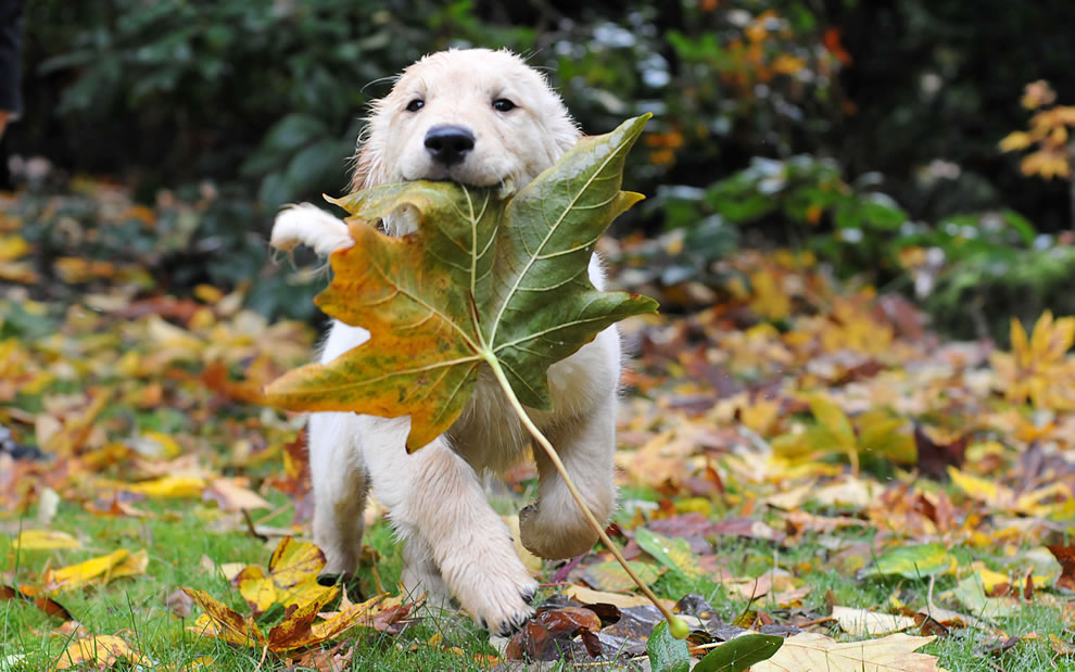 During Autumn Playful pup toting a huge fallen leaf