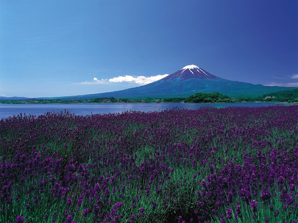 Endless fields of purple flowers in foreground, Mount Fuji still capped with snow in the background