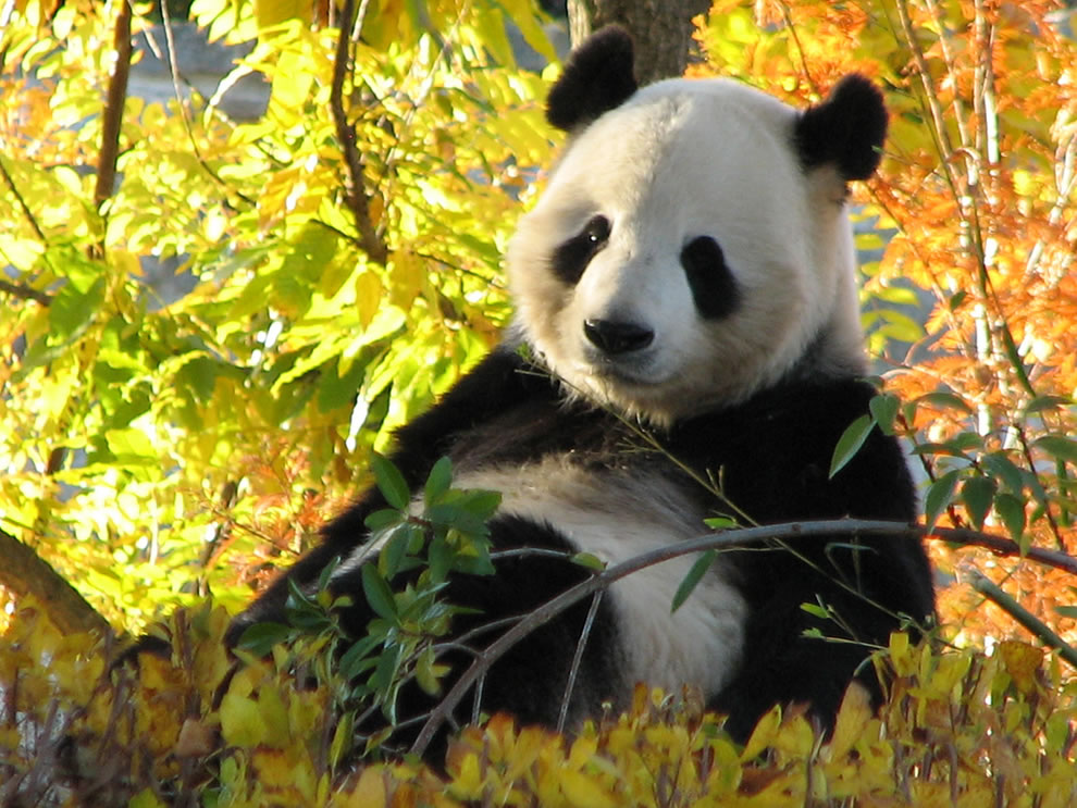Giant Panda relaxing on a beautiful fall day