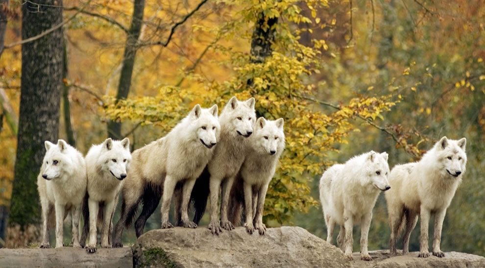 Golden fall foliage and pack of white wolves