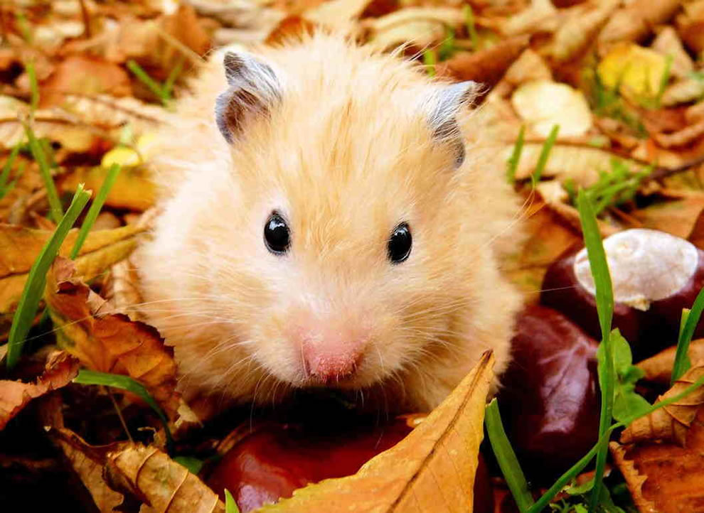 Hamster playing outside in the autumn leaves