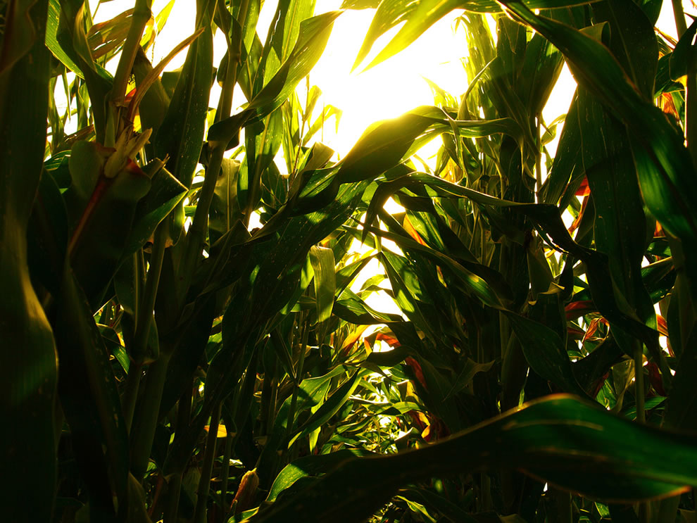 If you wandered into the corn field, out of the maize maze, then this is how confusing it would be in such a corn wonderland in Como, Lombardy, Italy