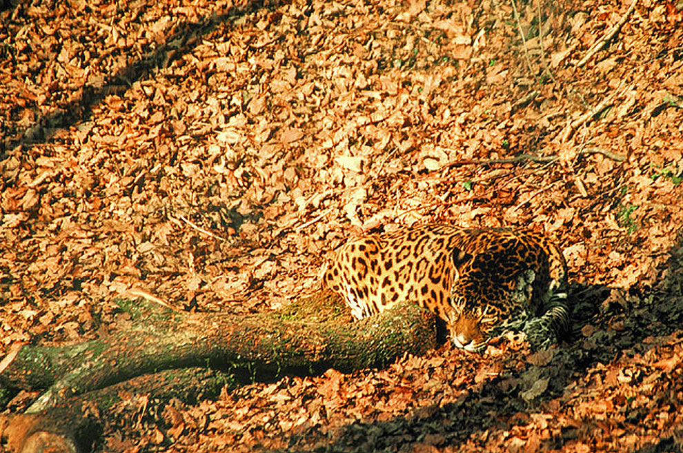 Jaguar effectively hidden in the fall landscape