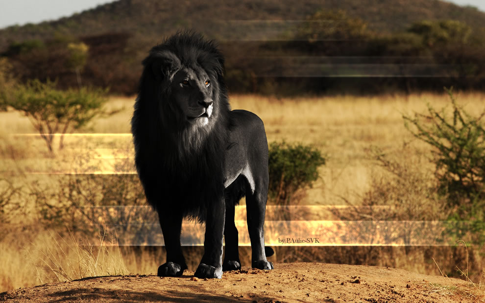 Majestic Black Lion