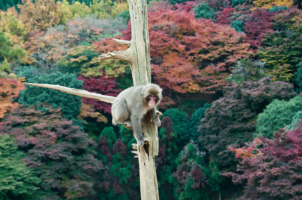 Monkey on limb over fall forest at Kyoto, Japan