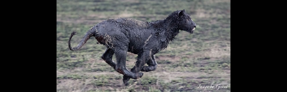 Not panther but REAL black lion by being really coated in black mud in Africa black lion