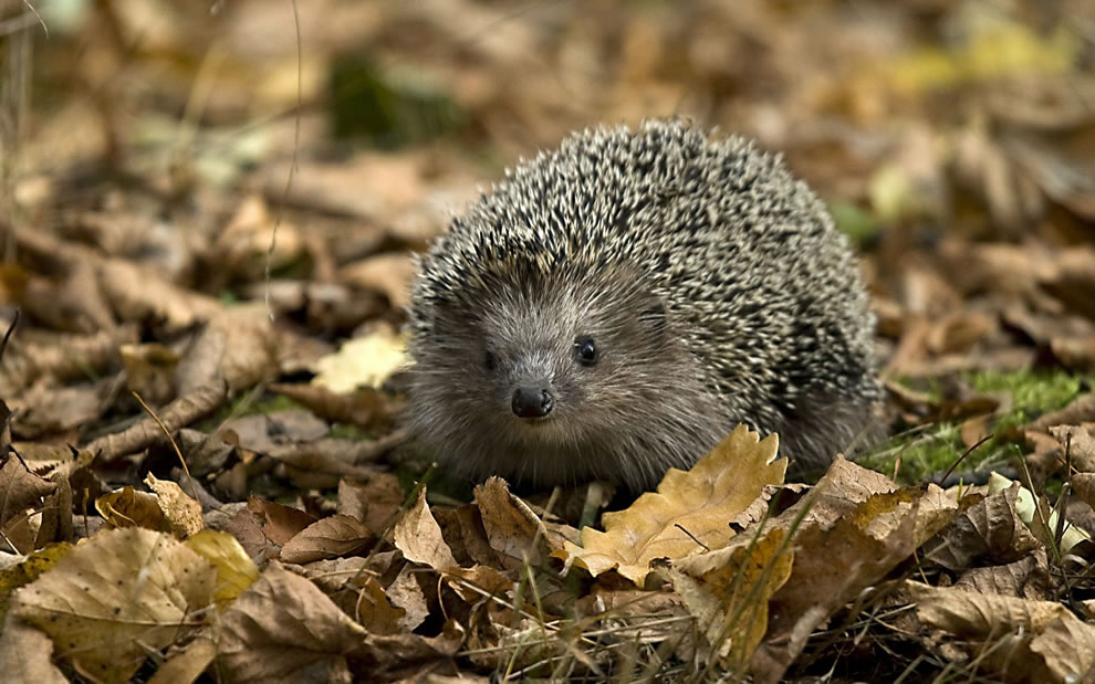 Small hedgehog in the crunchy fallen leaves of late autumn
